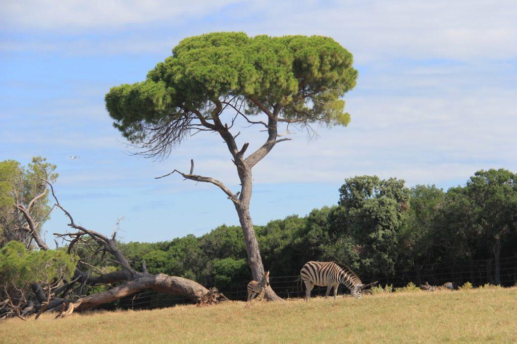Brijuni Zebra